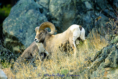 Bighorn Ram near Sula, MT Img_6491
