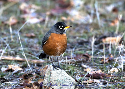 American Robin in the spring - Image 1609