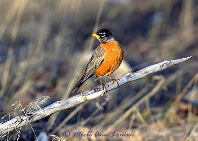American Robin in the spring - Image 1603