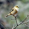 American Goldfinch - winter plumage in January