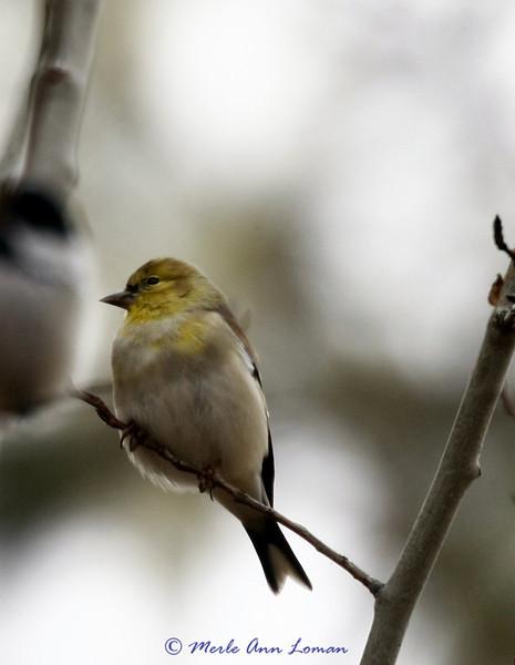 American Goldfinch - male in winter