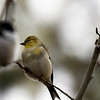 American Goldfinch - male in winter