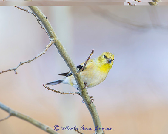 American Goldfinch - Spinus tristis winter 13-14