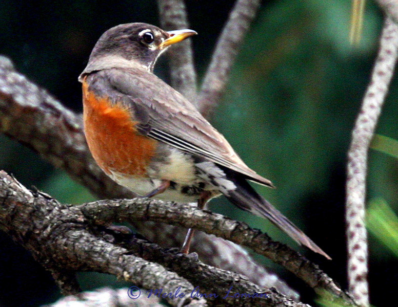 Robin in a Ponderosa Pine tree
