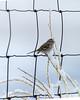 American Tree Sparrow - Spizella arborea, IMG_7086