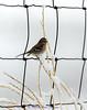 American Tree Sparrow - Spizella arborea, IMG_7079