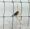 American Tree Sparrow - Spizella arborea, IMG_7092