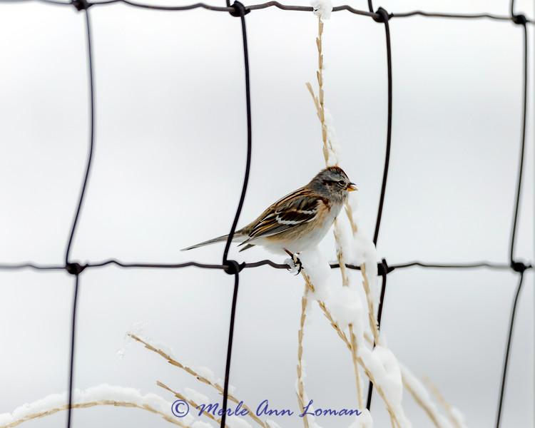 American Tree Sparrow - Spizella arborea, IMG_7078