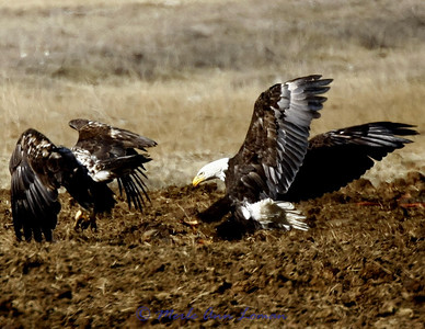 Bald Eagle, juveniles
