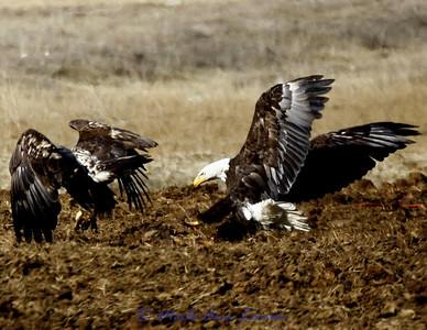 Bald Eagle, juveniles