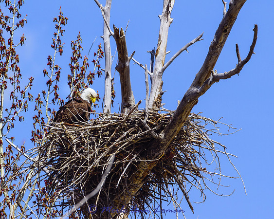 Bald Eagle nest on the Bitterroot River