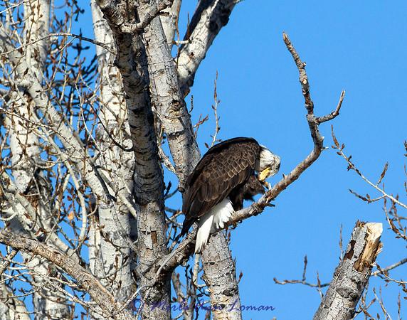 Bald Eagle sunning in Cottonwood