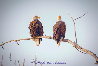 Bald Eagles on a Cottonwood snag near Sweathouse Creek in the Bitterroot Valley. Image 8405