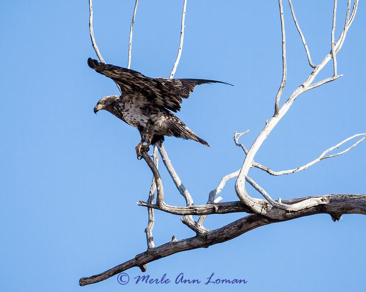 Bald Eagle - Haliaeetus leucocephalus IMG_0405