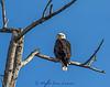 20150303-3R9B8465-Bald-Eagle-2-11x14