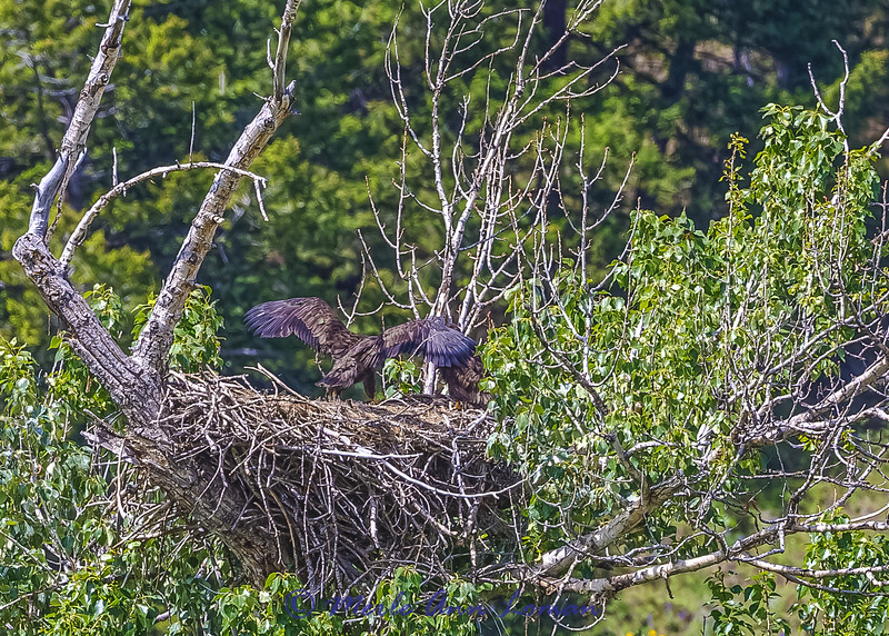 "Two Bald Eagle chicks getting ready to fledge. IMG_9328. ¯\_(ツ)_/¯ Please share and like the A Montana View Facebook page! Thanks so much for viewing. | visit  <a href=""http://www.amontanaview.com"">http://www.amontanaview.com</a> 