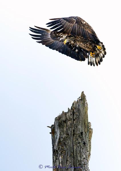 Immature Bald Eagle landing on snag (portrait) IMG_0548