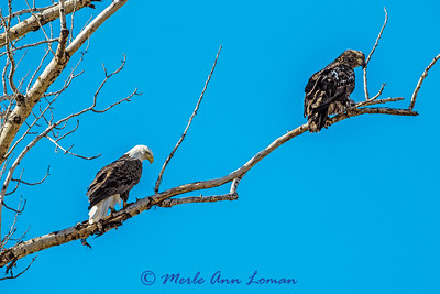 Mature and immature Bald Eagles - IMG_6440