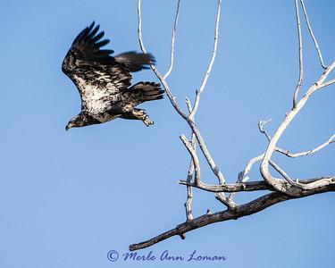 Immature Bald Eagle - Haliaeetus leucocephalus IMG_0414