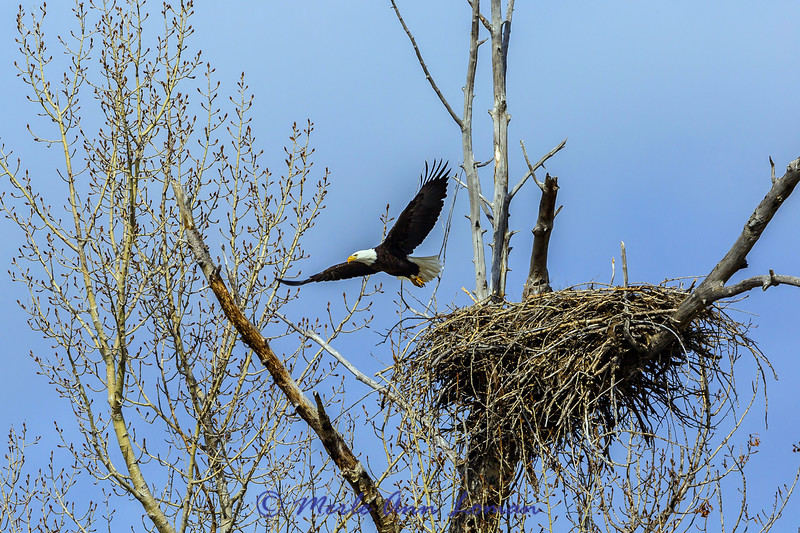 Bald Eagle coming off its nest - middle Bitterroot River in March 2015 IMG_9619