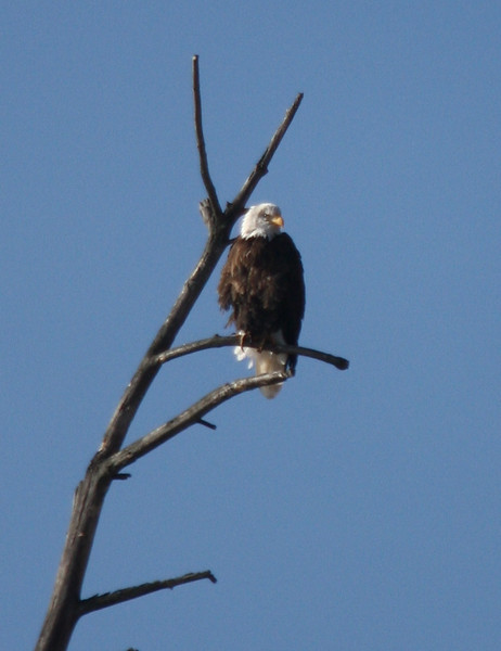 Bald eagle near Sweathouse in December