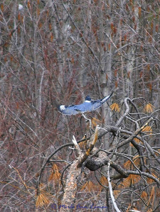 A Belted Kingfisher in flight