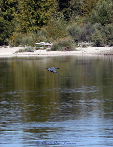 Belted Kingfisher over trico water