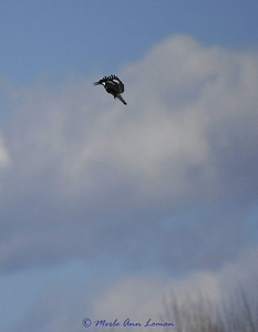 Kingfisher hovering above the river