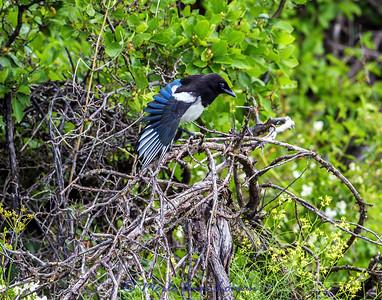 Black-billed Magpie - Pica hudsonia in mid-June IMG_7440