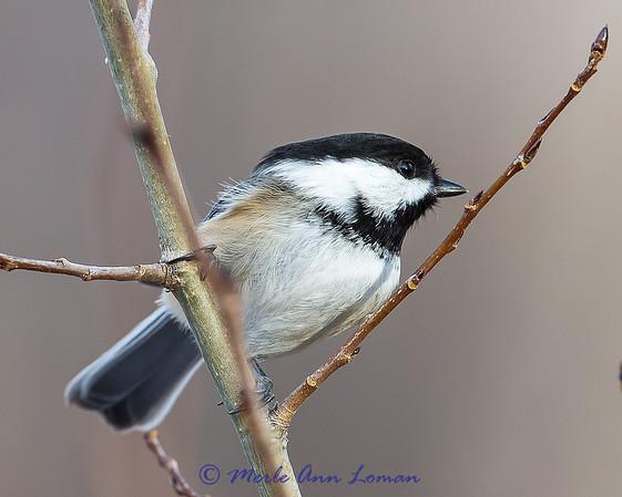 Black-capped Chickadee - Poecile atricapillus winter 13-14