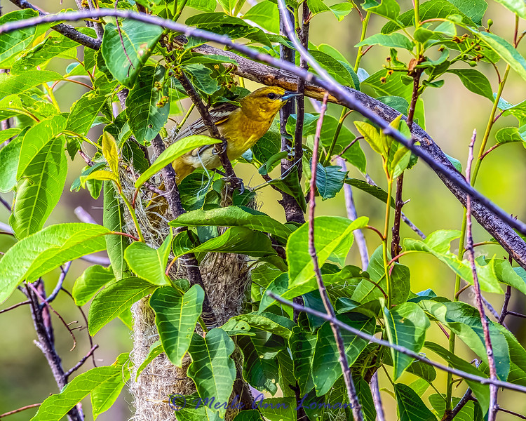 Female Bullock's Oriole coming out of the nest she is working on IMG_5593 Mission Valley, May 28, 2015