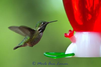 Calliope Hummingbird - Stellula calliope
