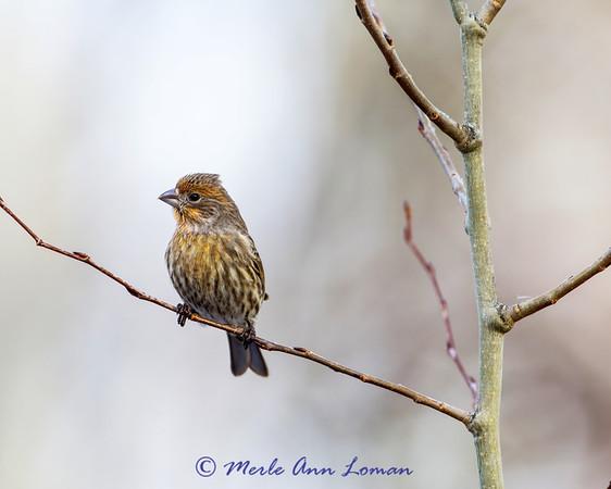 Cassin's Finch - Haemorhous cassinii winter 13-14