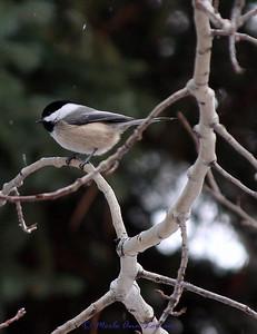 Black-capped Chickadee - Poecile atricapillus