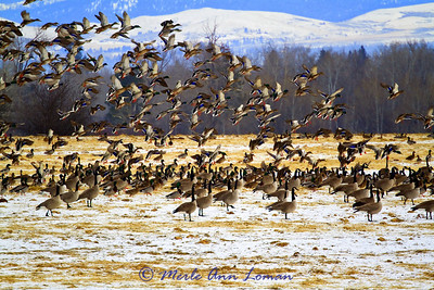 Convergence of geese and mallard flocks in January