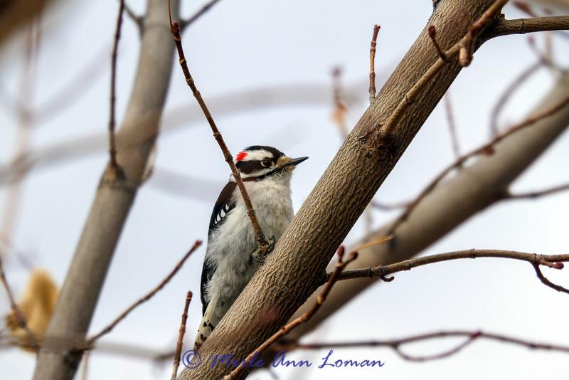 Downy Woodpecker - Picoides pubescens, 2:3
