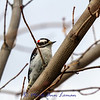 Downy Woodpecker - Picoides pubescens, 2:3
