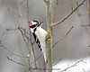 Male Downy Woodpecker on Aspen