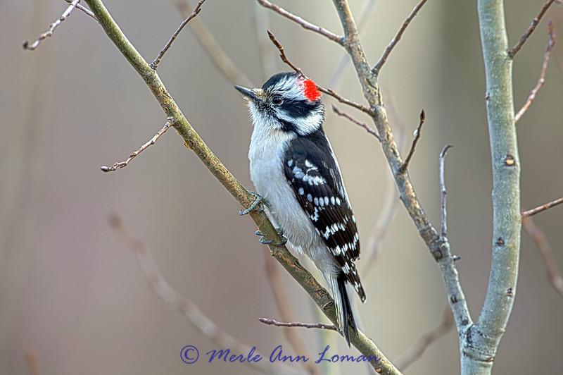 Male Downy Woodpecker on Aspen tree - Image 1692