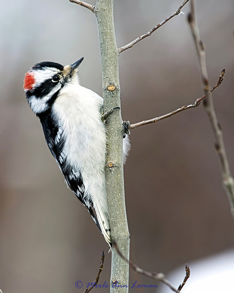 Downy Woodpecker - Picoides pubescens newer