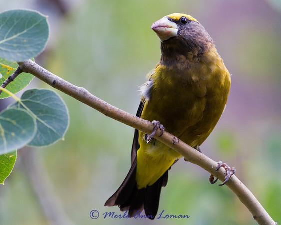 Evening Grosbeak - Coccothraustes vespertinus