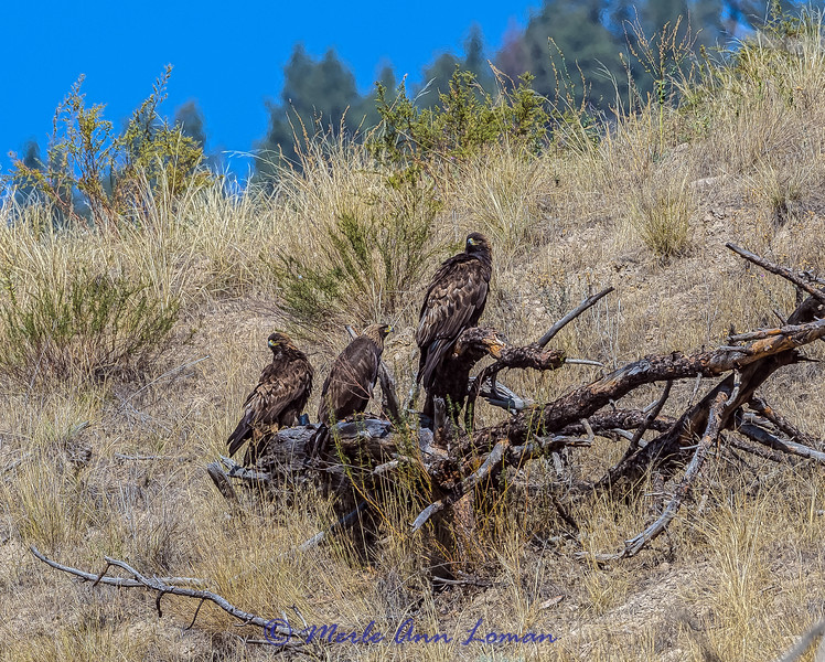 "Golden Eagles on the Flathead River near Dixon IMG_8834 ¯\_(ツ)_/¯ Please share and like the A Montana View Facebook page! Thanks so much for viewing. | visit  <a href=""http://www.amontanaview.com"">http://www.amontanaview.com</a> 