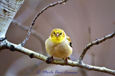 March 3, Goldfinch