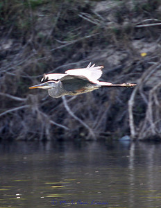 Great Blue Heron near the end of our float