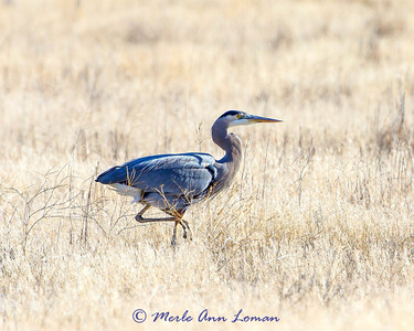 Great Blue Heron in a field.