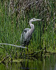 Great Blue Heron in the Mission Valley wetlands #bird #Montana Image 6991