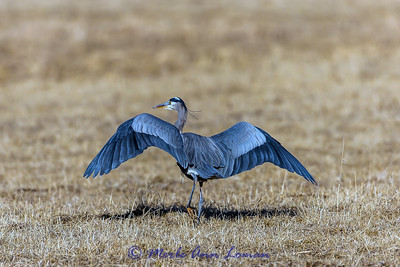 Great Blue Heron (Ardea herodias) in January - Bitterroot Valley, IMG_5344