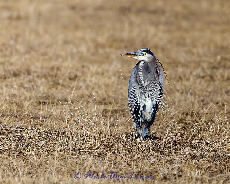 Great Blue Heron (Ardea herodias) in January - Bitterroot Valley, IMG_5296