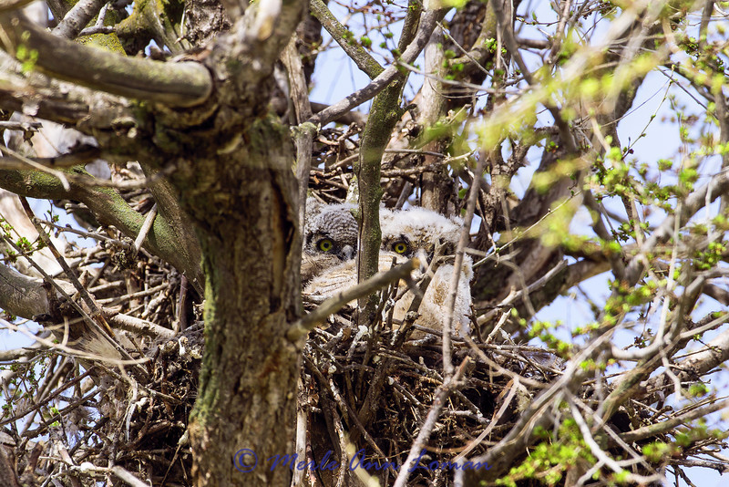 Two chicks in the nest in early May