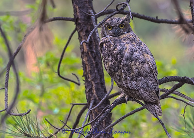 Great Horned Owl IMG_6567  ¯\_(ツ)_/¯ Please share and like the A Montana View Facebook page! Thanks so much for viewing. | visit www.amontanaview.com | #Photography #Montana #MontanaMoment #Great Horned Owl - Buy this photo at this link http://smu.gs/1EV9UVM